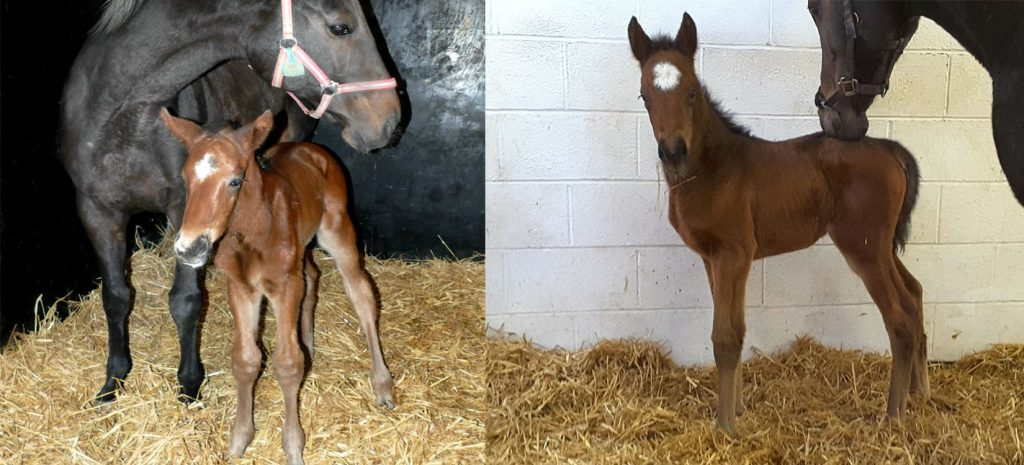 Telescope colt (left) and filly (right) this week. Colt pic: @WoodfieldFarm1/Twitter; Filly: @Eskdale_TB/Twitter